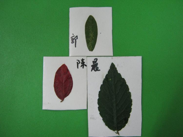 有趣的树叶——记西溪幼儿园中班年段《小叶子》结题
